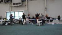 Feny třída otevřená: Ginny Pett´s Wolf a Rouvena Jagodowe Bory - Female Open class