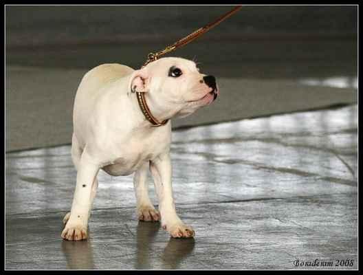 Basco Snow Bee-Master - Třída: puppy - psi