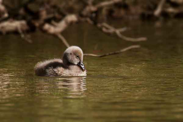 Malý drobeček, ne zcela probuzený, následuje maminku.