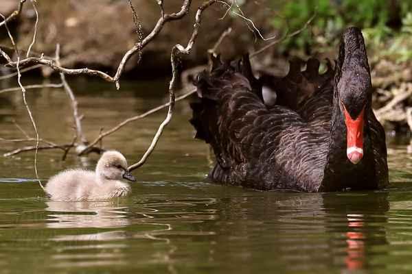 Zde už je čilý, maminka ho vede na ranní pastvu.