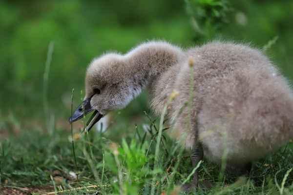 Labutě se živí zejména vodními rostlinami, které jsou pro mladé dost tuhé. Proto, je-li možnost, vodí labuťata na jemnou mladou trávu. Není-li ta možnost, naškubou a v zobáku zjemní vodní rostliny.