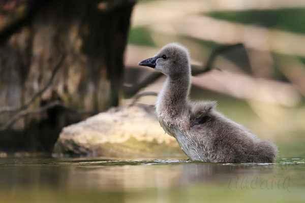 Šlapou vodu, připravují se na vzlet z vodní hladiny v dospělosti, mají to vrozené.