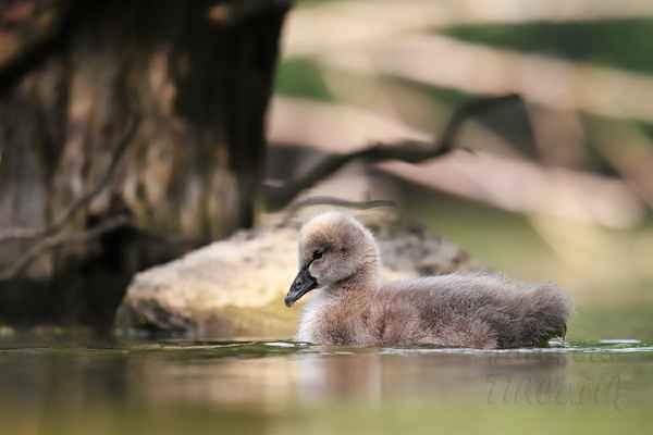 Dospělá labuť se rozběhne po vodní hladině a následně hlučně vzlétne. Připomíná to start dopravního letadla. Potřebuje k tomu dráhu cca 15 m.