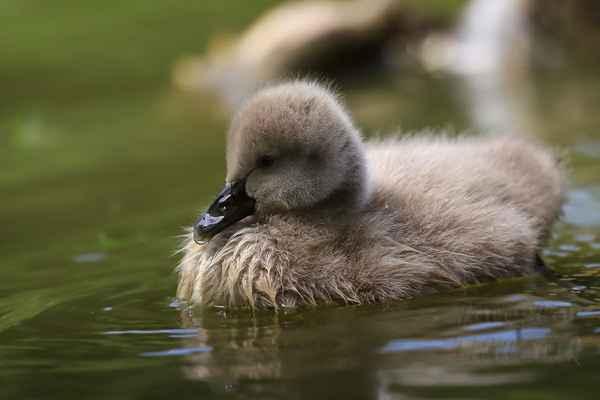 Až vyroste, nebude mít, kromě člověka, u nás přirozeného nepřítele. Přispívá k tomu i život na vodní hladině.