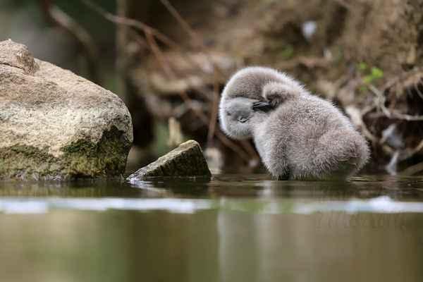 Nutnou povinností vodních ptáků je promazávání chmýří, později peří, ze žlázy u ocasu, proti smáčivosti.