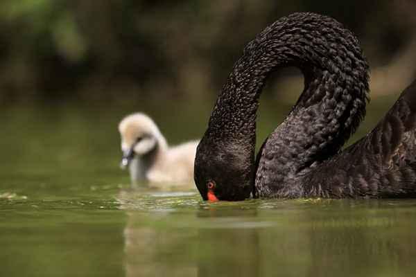Mamka učí vytrhávat vodní rostliny, ale krk je ještě krátký.