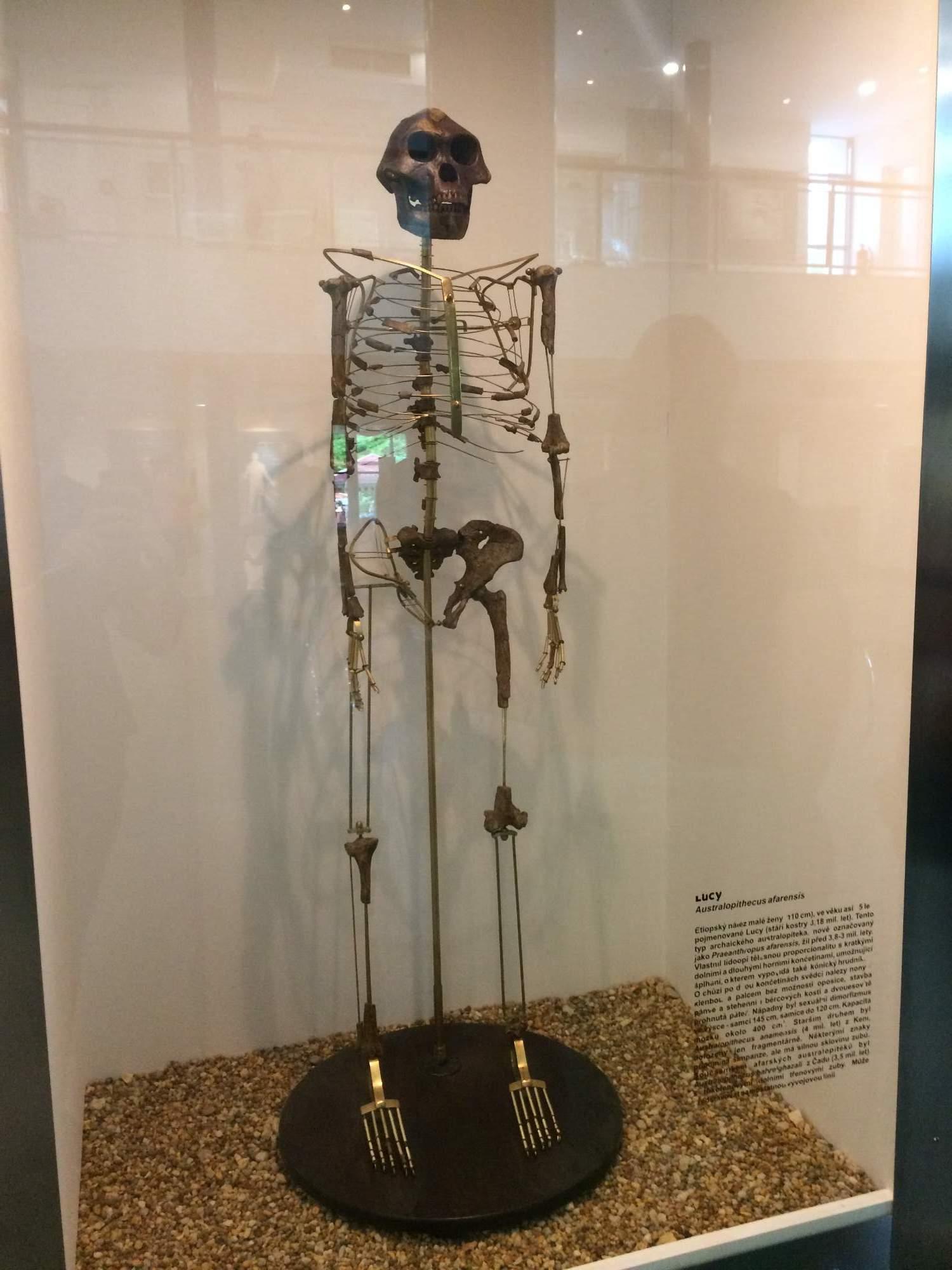 Lucy, najstaršia predchodkyňa človeka