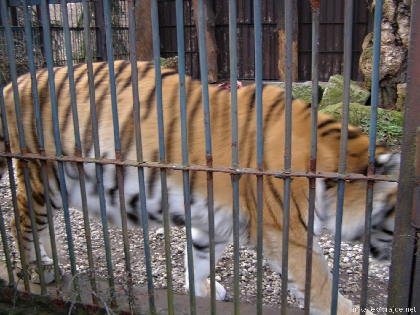 ZOO Ostrava 31 - tygr ussurijský