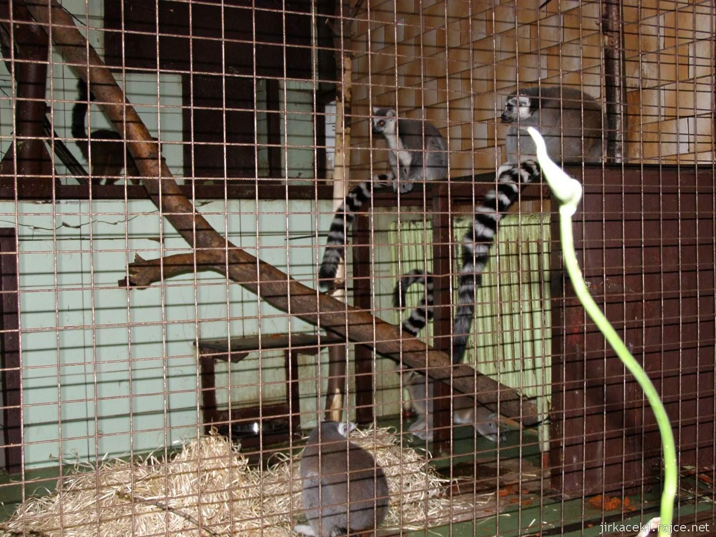 ZOO Ostrava 37 - lemur kata