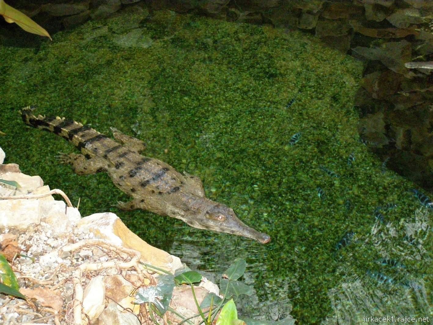 ZOO Ostrava 45 - pavilon Tanganika - krokodýl štítnatý
