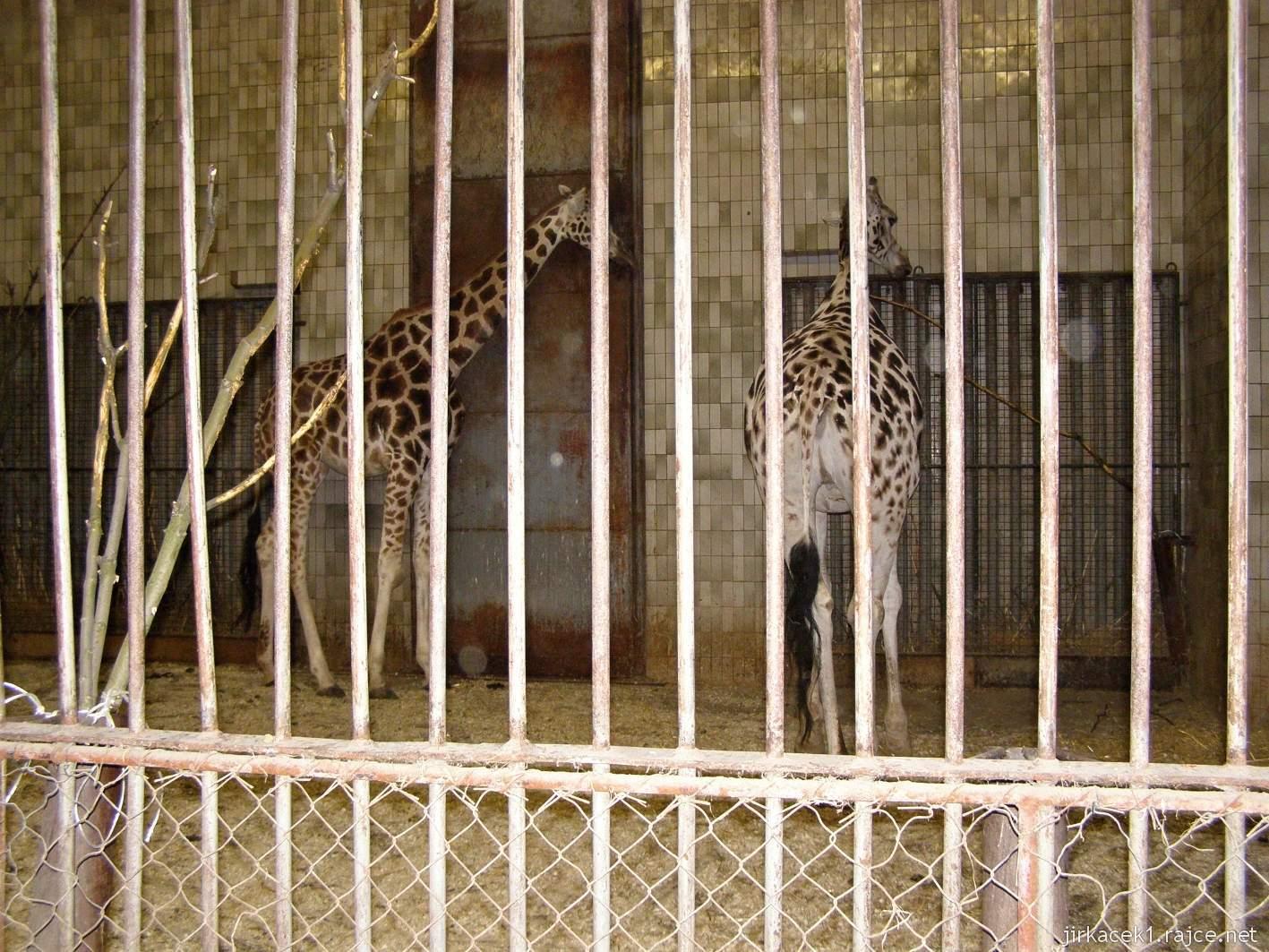 ZOO Ostrava 62 - Žirafa Rothschildova