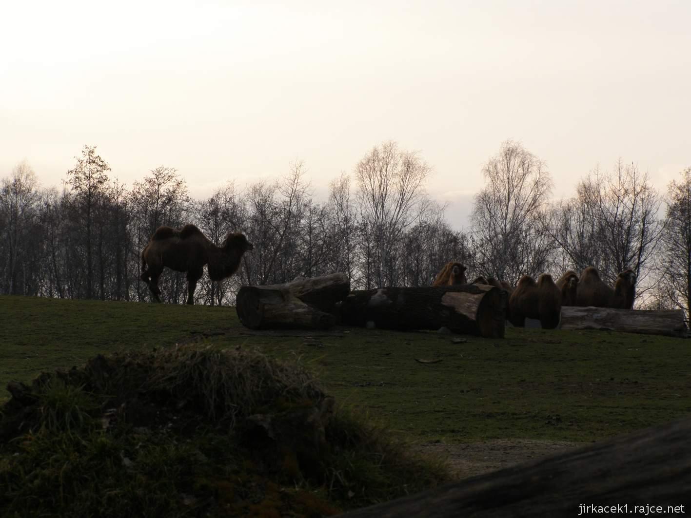 ZOO Ostrava 68 - velbloud dvouhrbý